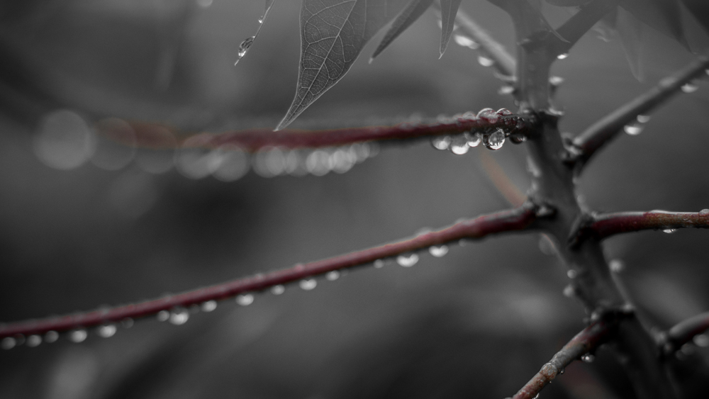 B&W Water Droplets + Red Isolate Color of Cassava Leaves
